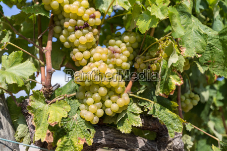 vine, with, white, grapes - 16323397