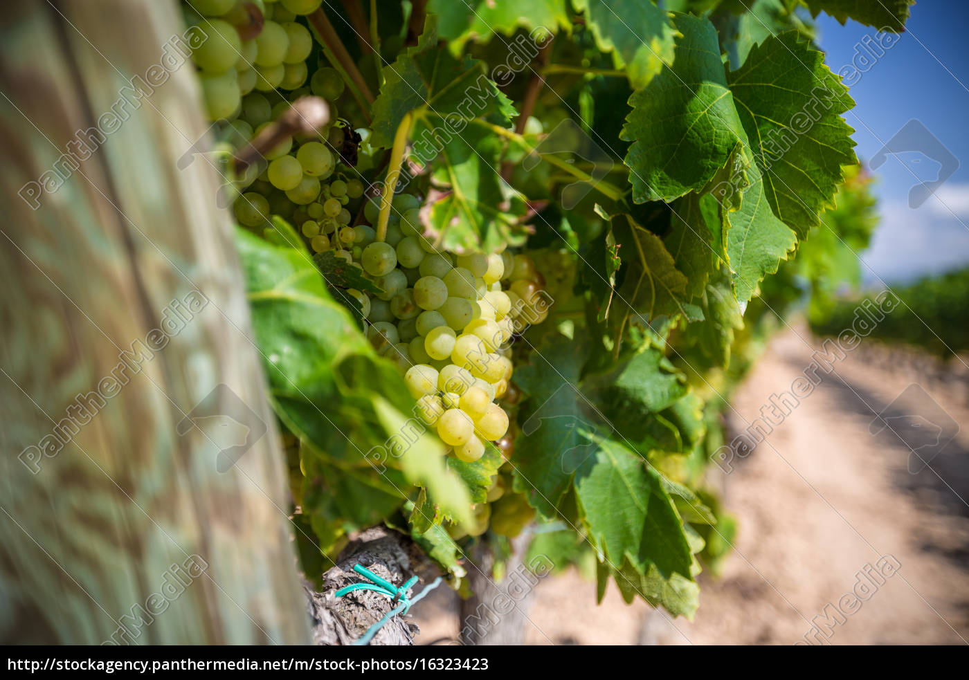 vine, with, white, grapes - 16323423