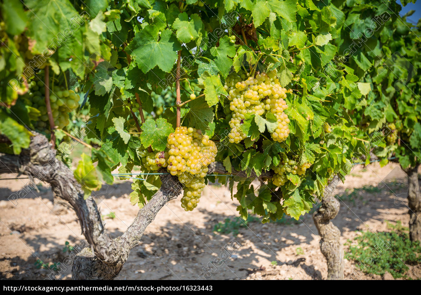 vine, with, white, grapes - 16323443
