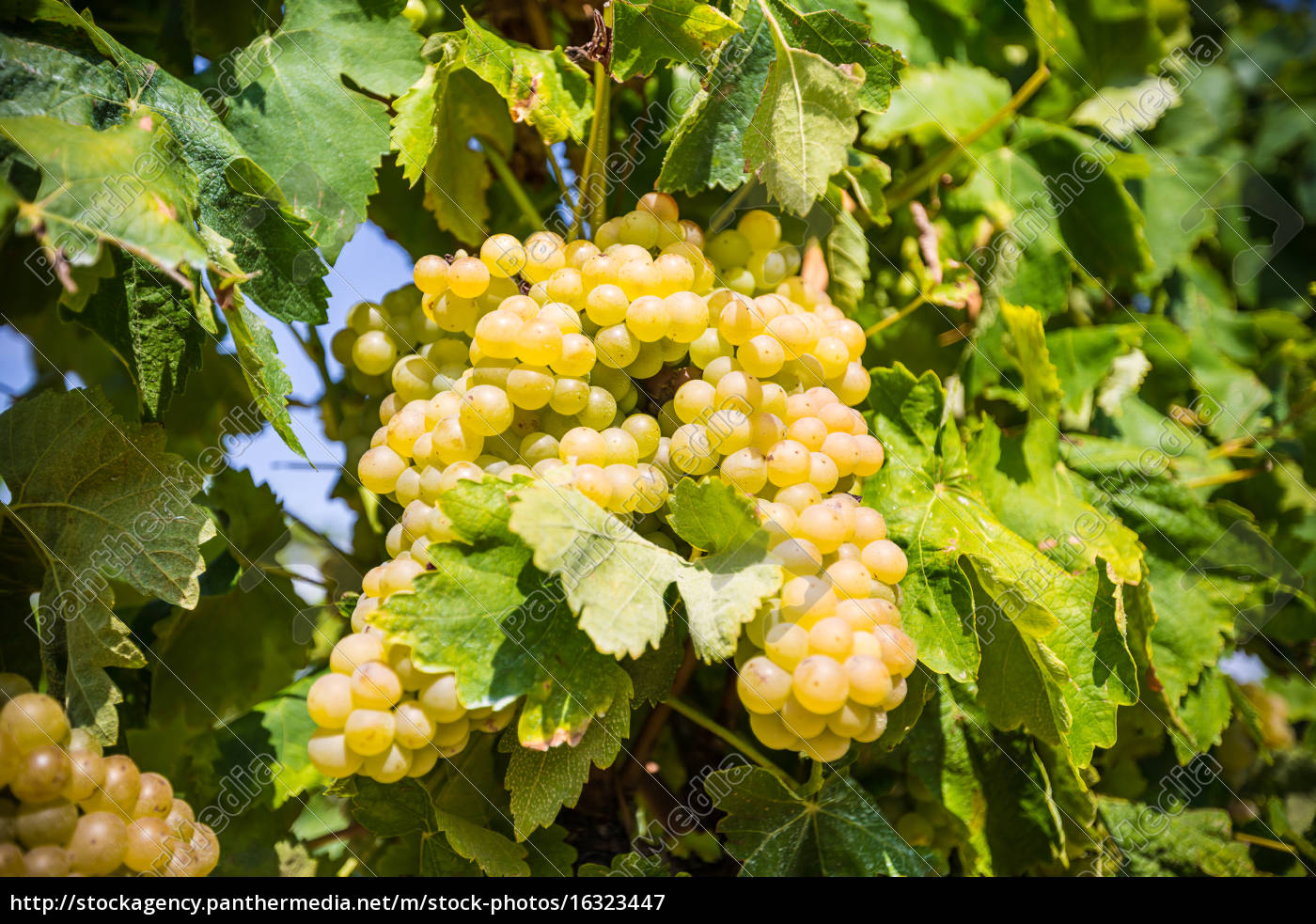 vine, with, white, grapes - 16323447