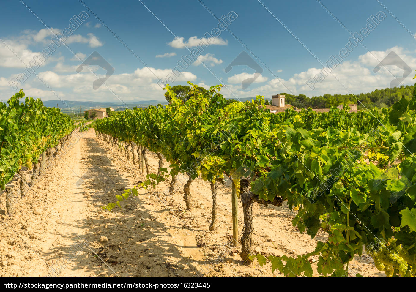 vineyards, with, harvest, of, white, grapes - 16323445