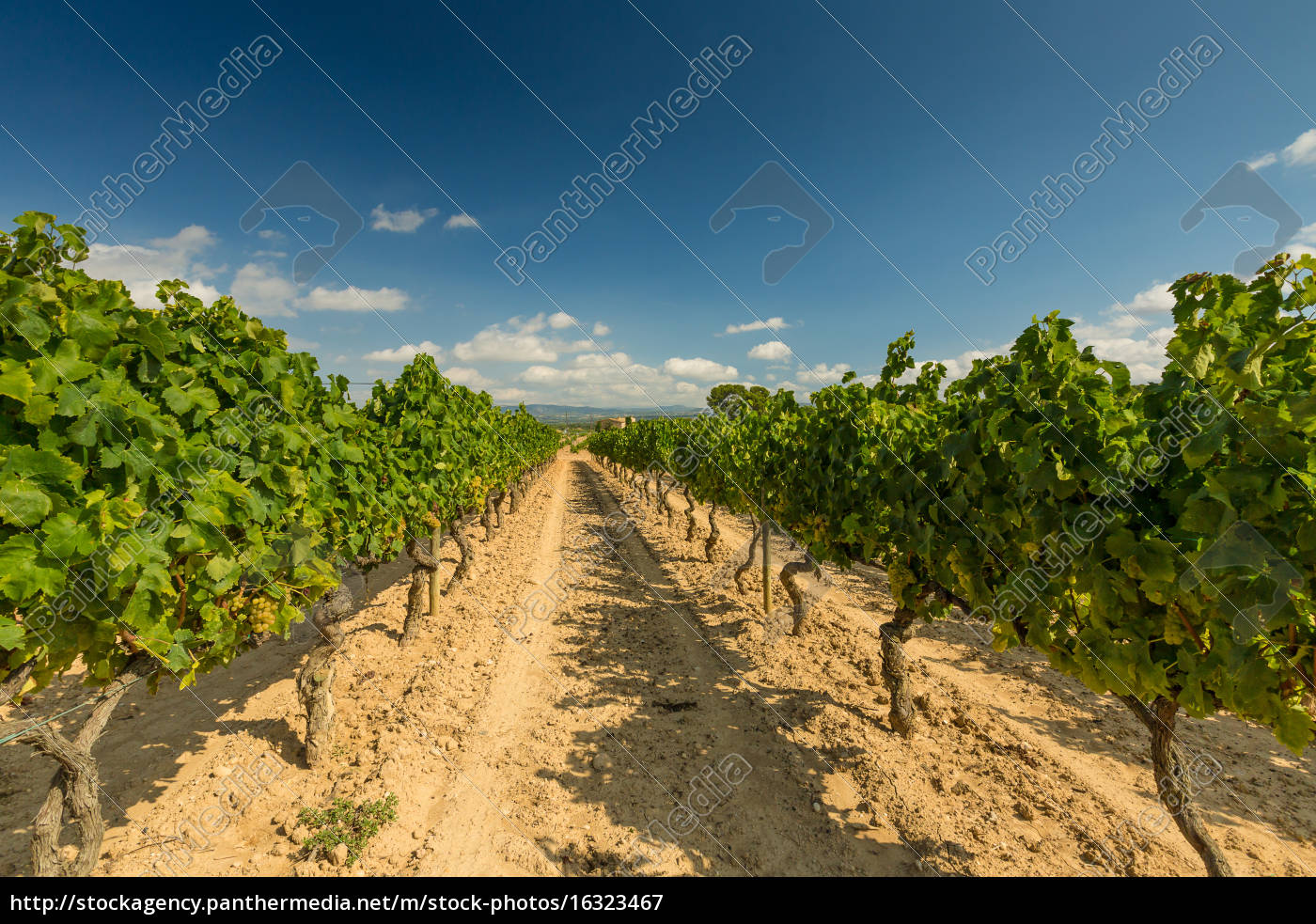 vineyards, with, harvest, of, white, grapes - 16323467