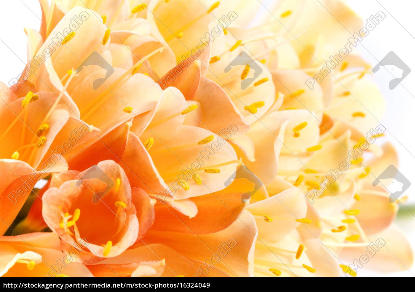 beautiful, flowers, of, clivia, miniata, , close - 16324049