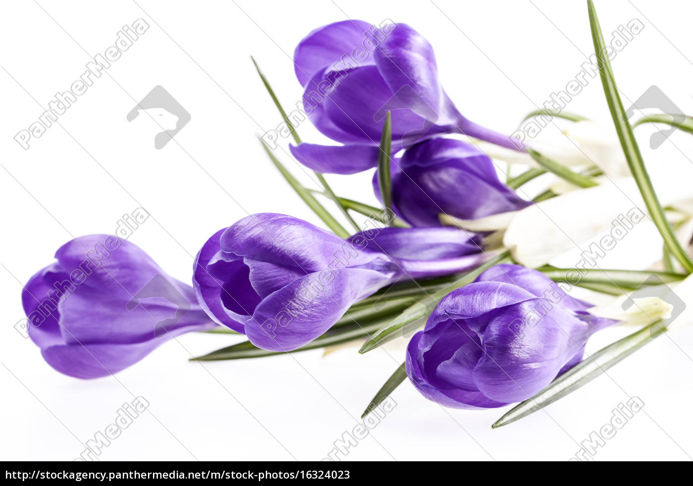 some, spring, flowers, of, violet, crocus - 16324023
