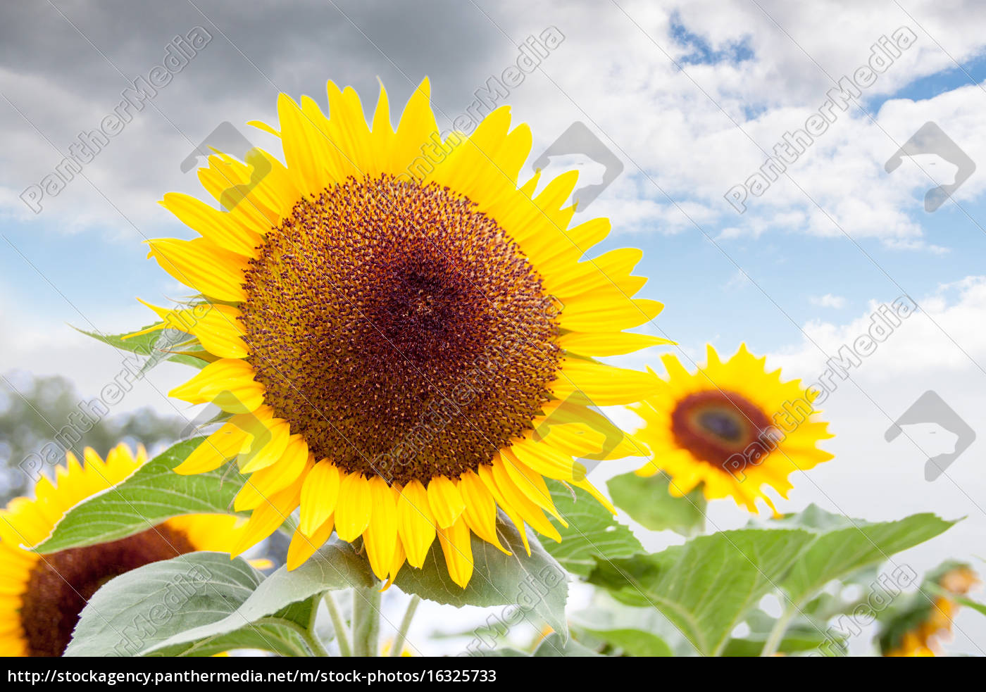 bright, yellow, of, a, sunflower, against - 16325733