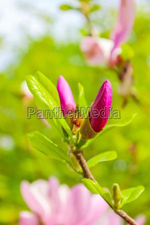 unopened bud of magnolia flower