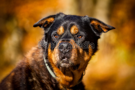 rottweiler herd protection dog