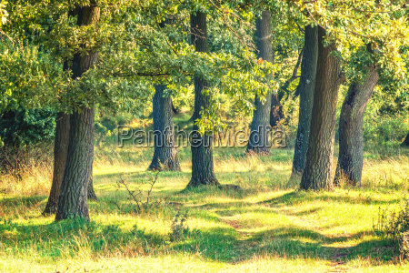 green, forest, with, oak, trees - 16342569