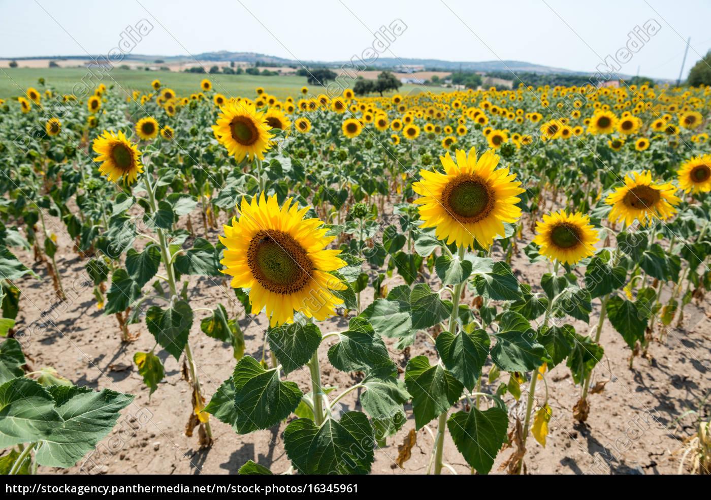 sunflowers - 16345961