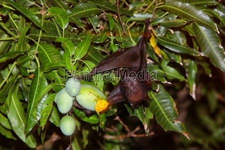 malaysia greater short nosed fruit bat