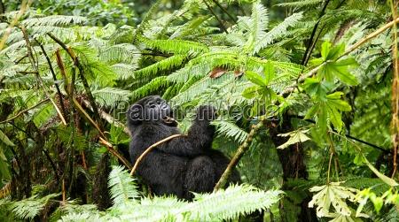 uganda bwindi impenetrable national park bwindi