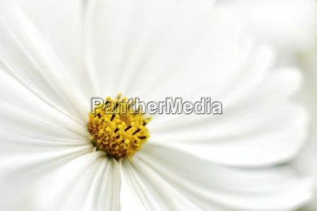 blossom of white cosmos coreopsideae partial