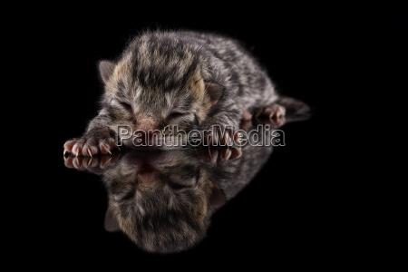 sleeping kitten felis silvestris catus with
