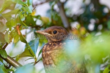 germany hesse young blackbird turdus merula