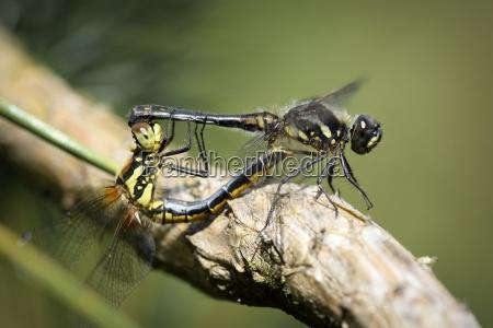 england black darters sympetrum danae mating