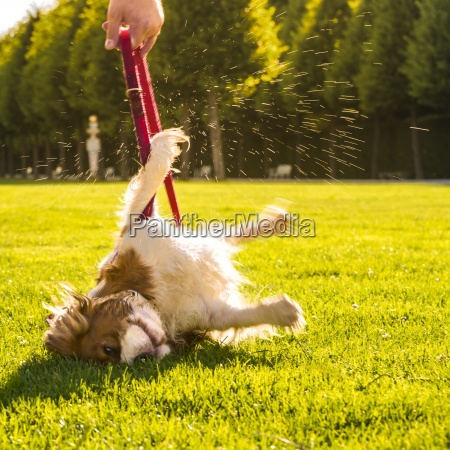 dog canis lupus familiaris rolling around