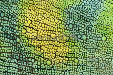 skin of johnstons chameleon chamaeleo johnstoni