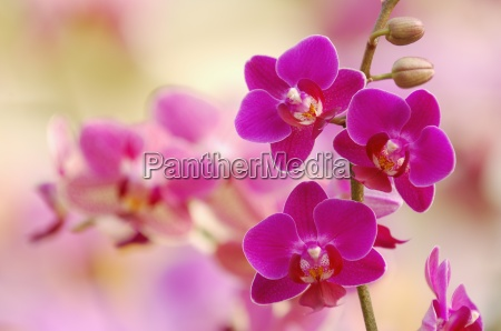 pink blossoms of orchid phalaenopsis close