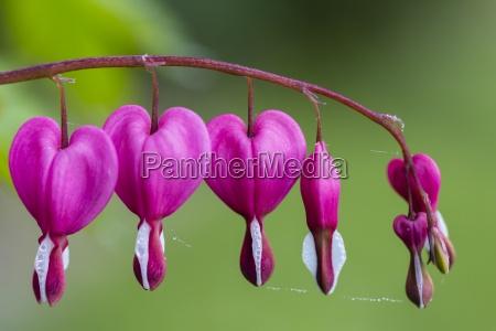 germany lyre flowers lamprocapnos spectabilis
