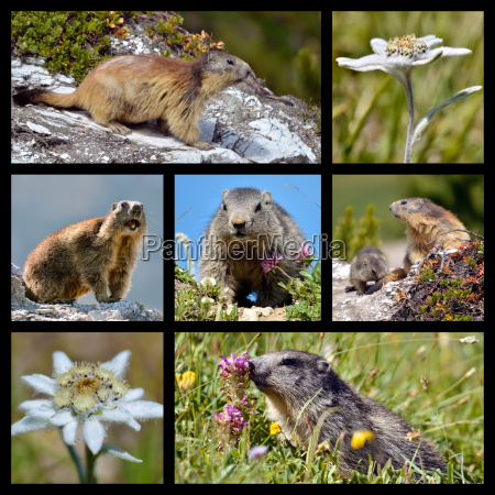photos mosaic alpine marmots and edelweiss