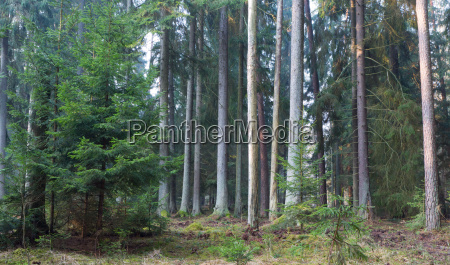 coniferous stand of bialowieza forest in