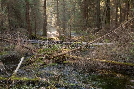 coniferous stand in morning