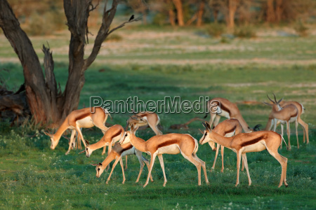 springbok antelopes in natural habitat