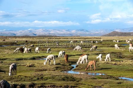 llamas and alpacas are near arequipa