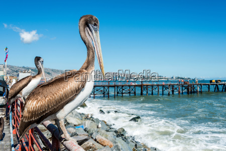 pelican at the fish market of