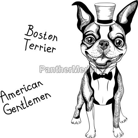 funny cartoon hipster boston terrier breed