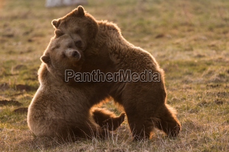 brown bears snuggle