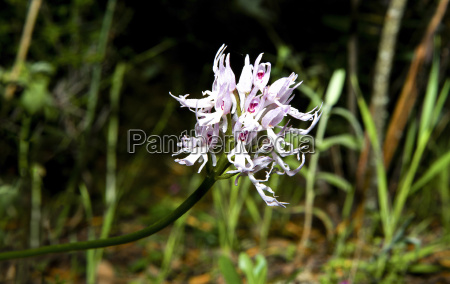 orchis italica or naked man orchid