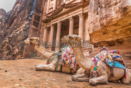 bedouin camel rests near the treasury