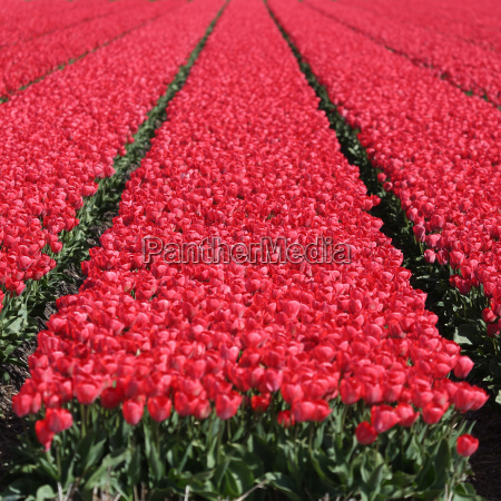 spring tulips with red flowers on