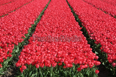 spring in holland with red tulip