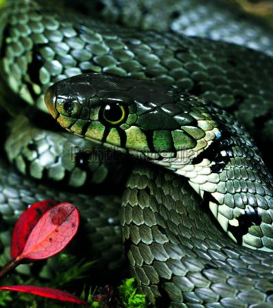 grass snake natrix natrix grass snake
