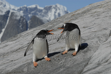 two gentoo penguins