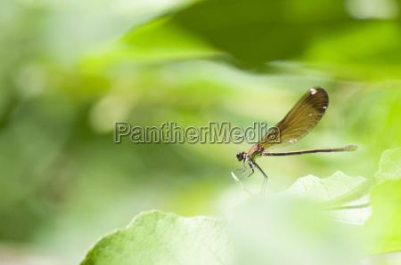 brown dragonfly resting on a leaf