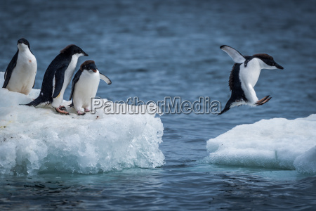 adelie penguin jumping between two ice