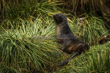 antarctic fur seal lying in tussock