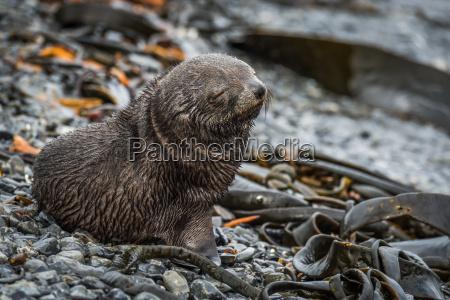 antarctic fur seal pup with eyes