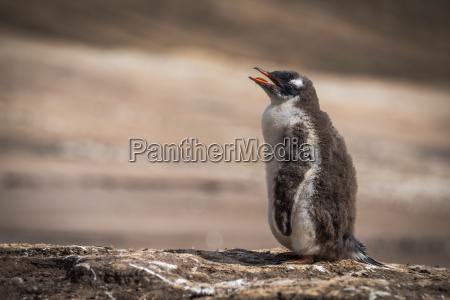 gentoo penguin calling for mother on