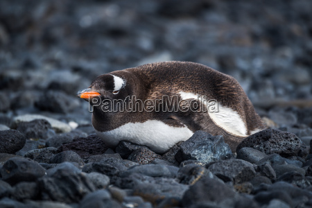 gentoo penguin lying on black rocky