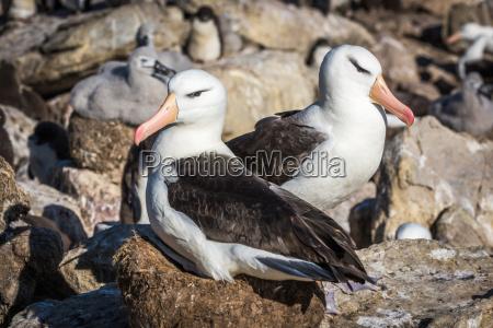 pair of black browed albatross nesting