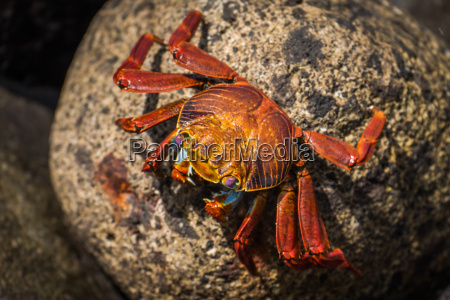 sally lightfoot crab on mottled brown