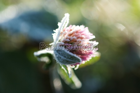 frost covered clover