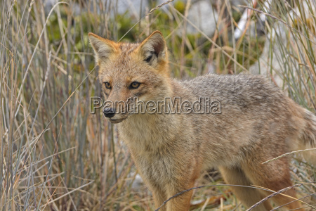 andean fox moving through the grass