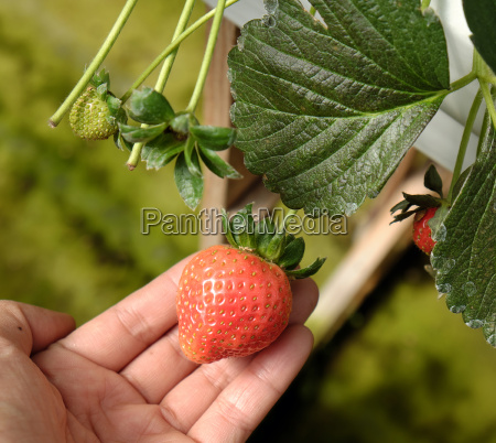 strawberry fruit of da lat dalat
