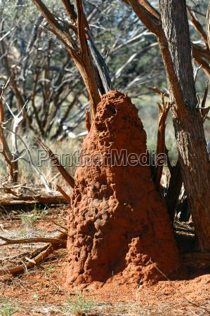 termite mound in the australian bush