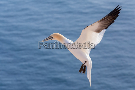 flying northern gannet helgoland germany